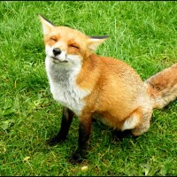 Snarling the Happy Fox